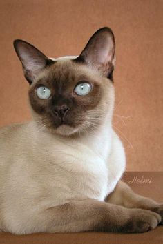Tonkinese cats are the best!