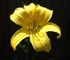 Chicago Star from Oakes Daylily