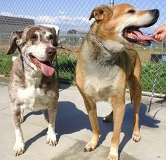 BONDED 15 year old SENIORS OWNER SURRENDERED heartbreaking. AVAILABLE NOW  Semper Fi is a male Shepherd mix. His ID is 4189. Lacy is a female Catahoula mix. Her ID is 4188. In kennel 25. Their review dates are 5/22. Please share and pledge to keep these babies together  Madera County Animal Services CA (559)675-7891 Please contact LDS7784@yahoo.com for serious enquiries