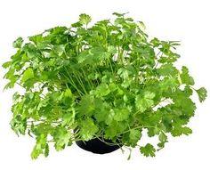Culantro o cilantro ok