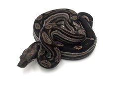 scaleless burmese python   Snake!   Burmese python, Ball ...