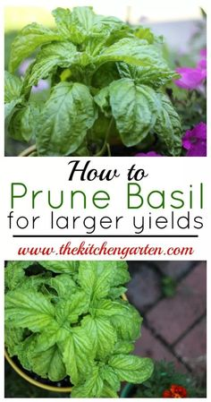 How to Prune Basil for Larger Yields is part of Pruning basil - Easily prune your basil plants for larger yields with just a few quick snips Fuller, larger basil plants will provide you with fresh herbs all summer! Herb Garden Design, Diy Garden, Herbs Garden, Garden Compost, Garden Pests, Fruit Garden, Gardening For Beginners, Gardening Tips, Flower Gardening