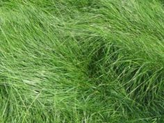 Native Mow Free Mix |California Native Seeds|S&S Seeds