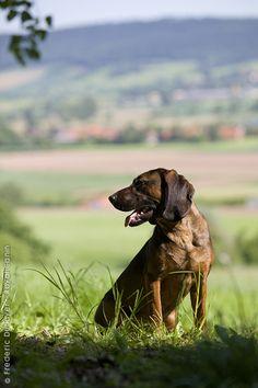 Bavarian Mountain Hound.
