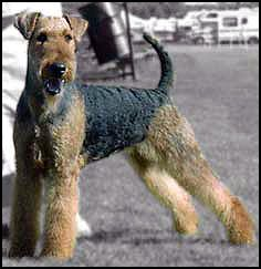 Airedale Terrier. Can't wait to get one someday.