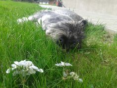 My cute dog! ^_^  #Schauzer #Chill :3