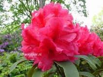 Rhododendron 'Earl of Donoughmore'