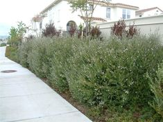 Australian Rosemary: Planters, borders, great for a shrub in the yard.  Fast growing and attractive.