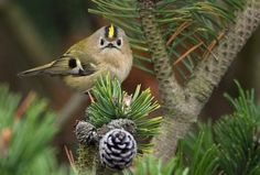 goldcrest smallest bird of europe http://3.bp.blogspot.com/_TpDlXAhBge8/SYqUGrlw2yI/AAAAAAAAAkk/-kaKaPjQQiE/s400/Goldcrest01-full.jpg