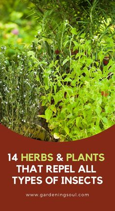 keep things all natural, try these herbs and plants that repel insects so that you can reclaim your personal spaces and enjoy time outdoors. Types Of Insects, Types Of Plants, Container Plants, Container Gardening, Outdoor Plants, Outdoor Gardens, Plants Indoor, Outdoor Spaces, Organic Gardening