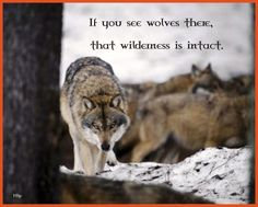 Wolf wisdom - friendship, mythical, abstract, pack, howl, insnow, wisdom  beautiful, howling, lobo, grey wolf, quotes, dog, wallpaper, wolves, timber, canine, winter, wolf, lone wolf, wolfrunning, wild animal black, wolf wallpaper, majestic, wolf pack, the pack, snow, white, solitude, grey, black, arctic, canis lupus, nature, spirit