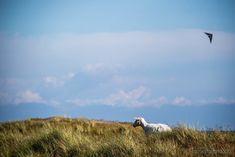 #Sylt #Nordsee #Wattenmeehr #Strandörbe #Schaf