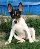 our rescue rattie Abby sits just like this .. rat terrier cute pose