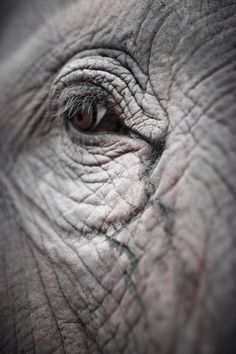 Causes of Endangerment: Habitat Loss Elephants need a large amount of habitat…