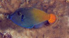沙鯭 Blackbar Filefish (Pervagor janthinosoma)