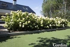 De pluimhortensia is een unieke winterharde en rijkbloeiende variant. De romantisch ogende bloemen bloeien van juli tot september en verkleuren van limoen tot lichtroze. Hij staat het liefst in de zon of halfschaduw in vochtige, humusrijke aarde.