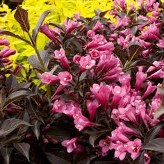 If no pruning sounds good to you, check out these low-maintenance dwarf gems. Dwarf Flowering Shrubs, Dwarf Trees, Evergreen Shrubs, Flowering Trees, Shade Shrubs, Bushes And Shrubs, Shrubs For Landscaping, Garden Shrubs, Landscaping Ideas