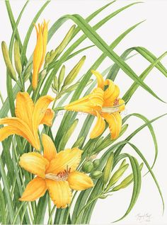 Hemerocallis - Daylily, a botanical watercolor by Margaret Best Botanical Drawings, Botanical Illustration, Botanical Flowers, Botanical Prints, Lily Painting, Painting & Drawing, Watercolor Flowers, Watercolor Paintings, Lilies Drawing