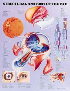 anatomy of the eye - Google Search