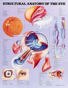 anatomy of the eye - Google Search