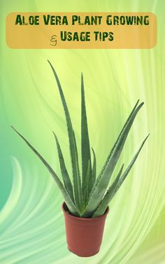 Aloe Vera Plant Growing & Usage Tips [I have one and have already used it on a crazy breakout of hives/rash I had recently. Worked the best out of all the topical remedies.]