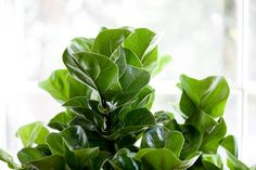 Is Trimming Brown Edges on Fiddles okay? — La Résidence · Plant Care Tips and More Fertilizer For Plants, Dry Plants, Indoor Plants, Indoor Gardening, Pots, Fiddle Leaf Fig Tree, Pot Plante, Tree Care, Dry Leaf