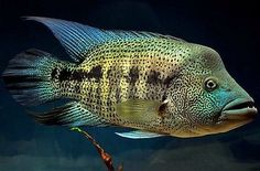 Parachromis Dovii Guapote Wolf Cichlid 1 5 inch Live Fish Fully Guaranteed | eBay