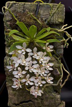 Orchids Garden, Orchid Plants, Air Plants, Garden Plants, House Plants, Orchid Flowers, Herb Garden, Potted Plants, Exotic Flowers