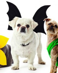 Bat Wings Harness Halloween Costume for Bowser: Extra felt layers help the wings stay upright. A rectangle of felt fastens the wings to a harness. Pet Halloween Costumes, Fete Halloween, Pet Costumes, Dog Halloween, Halloween Ideas, Costume Ideas, Bat Dog, Dog Cat, Chien Halloween