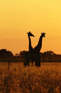 Africa | Giraffes silhouetted in twilight. Botswana | © National Geographic / Beverly Joubert