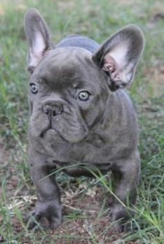 AKC Quality French Bulldog Puppies !!!