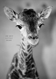 """Oh hey little dude"" | Sweet Baby Giraffe"
