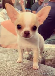 Hill Country Chihuahuas Cute Funny Dogs, Cute Funny Animals, Cute Baby Animals, Animals And Pets, Chihuahua Puppies, Cute Dogs And Puppies, Baby Puppies, Teacup Chihuahua, Doggies