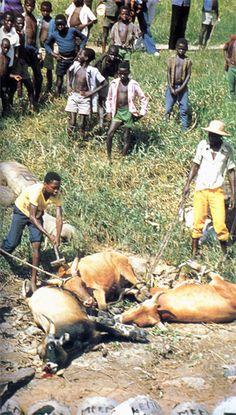 Abattage de zébus sans aucun ménagement le long du fleuve Kasaï, affluent du Congo, au Zaïre