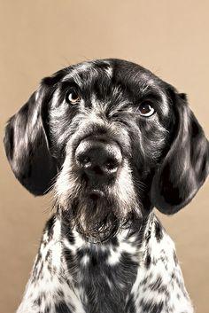 German Wirehair Dog by © light quantum, via Flickr.com