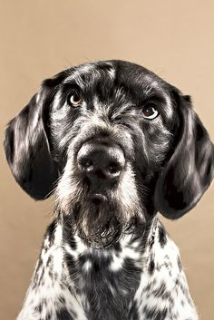 German Wirehair Dog