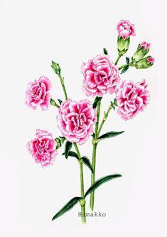 Botanical art, Watercolors. Carnation