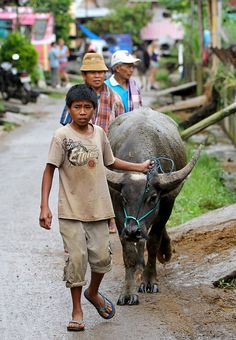 Going to the buffalo market . Rantepao, Sulawesi, Indonesia