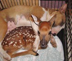 Deer Bully, I love you.  (Rocky Ridge Refuge) #BullTerrier #love