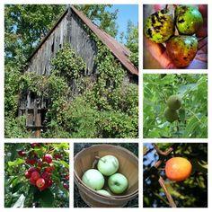 Feral Foraging:  Not quite wild fruit