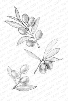 Olive Branches Sketch Drawing Illustration for Dow Botanical Drawings, Botanical Illustration, Animal Sketches, Drawing Sketches, Tattoo Drawings, Art Drawings, Olive Branch Tattoo, Branch Drawing, Coffee Tattoos