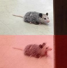 This possum is the spawn of satan Animal Memes, Funny Animals, Cute Animals, Hamsters, Reaction Pictures, Funny Pictures, Stupid Memes, Funny Memes, Haha Funny
