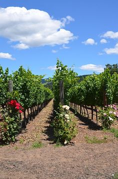 Sonoma Vineyards, always a rose at each row.