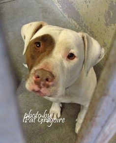 01/17/16- A4900471 My name is Ana. I am a friendly 4 yr old spayed female brown/white pit bull mix. I share these photos to help get these dogs seen and hopefully find homes. I do not work for the shelter nor do I rescue or pull. If you are interested in this dog, please contact the shelter directly to find out its availability. NOTE: Pit bulls are not kept as long as others so those dogs are always urgent!! Baldwin Park shelter Ope