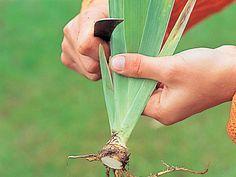 This needs google translating but most can be determined from photos... La division des iris en été - Retailler les plants