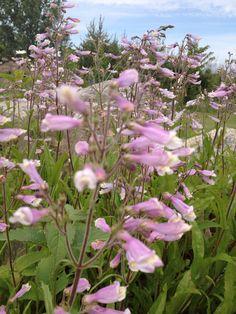 Penstemon hirsutus; Hairy penstemon; SO Pretty in Pink!!! loves sandy soil and full sun.....