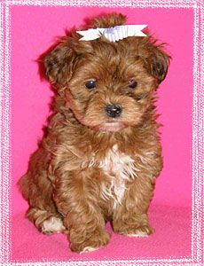 Yorkie Poo Puppy.......so cute! would be so cute to name a puppy this color Hermione. (what my little girl has been asking for since she was was in pre school)
