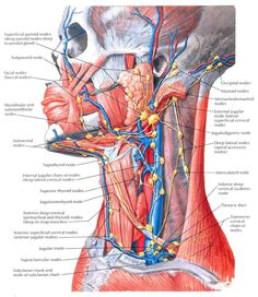 Lymph Vessels and Nodes of Head and Neck Anatomy Superficial parotid nodes (deep parotid nodes deep to and within parotid gland) . Anatomy Head, Human Body Anatomy, Human Anatomy And Physiology, Muscle Anatomy, Grey's Anatomy, Lymphatic Massage, Neck Yoga, Medical Anatomy, Physical Therapy