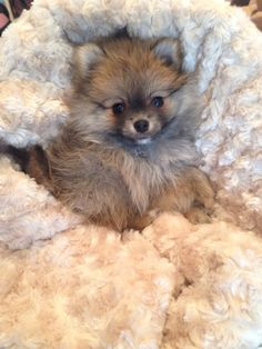Stop by to meet our newest arrival - a little boy Pomeranian!