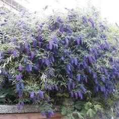Buddleja davidii Empire Blue - Buddleia, Butterfly Bush, Plant in 9cm Pot
